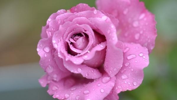 rose flower pink