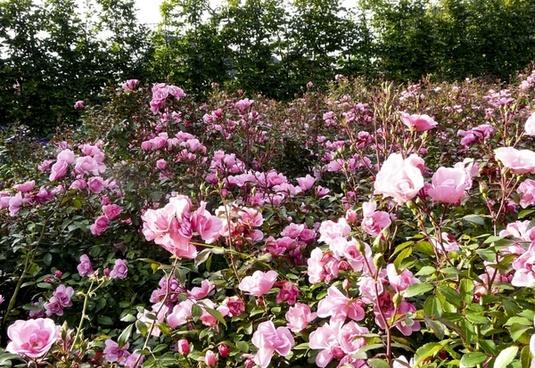 rose flowers pink