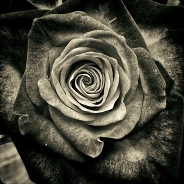 rose flowers roses