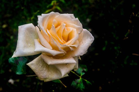 rose for everyone