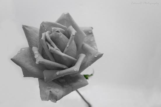 rose grise