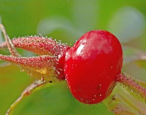 rose hip 8