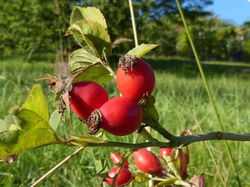 rose hip berries fruit