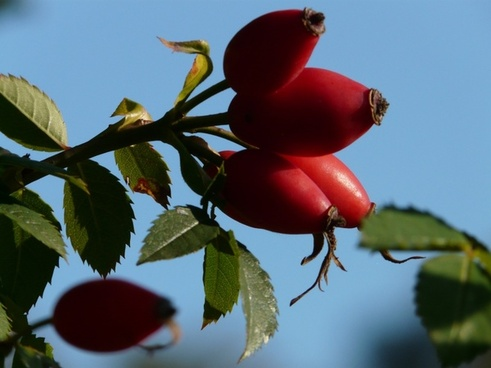 rose hip fruit sammelfrucht