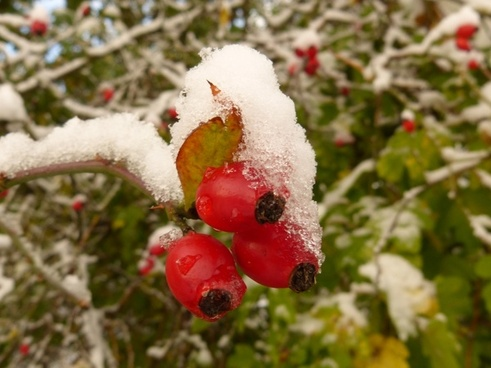 rose hip snow frost