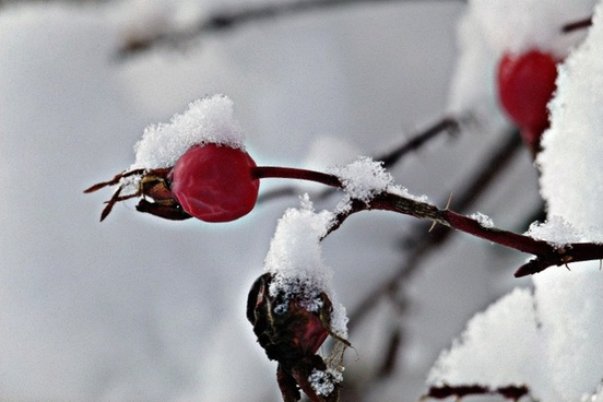 rose hip wintry