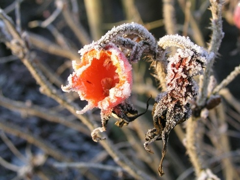 rose hips frost winter