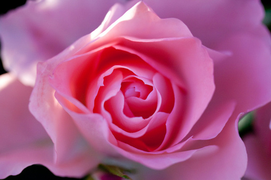 rose jardins de france