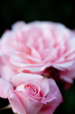 rose ma perkins