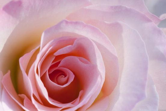 rose matilda