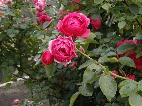 rose miniature roses pink flower
