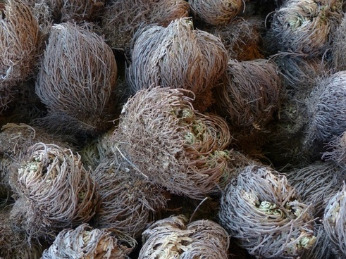 rose of jericho plant true rose of jericho