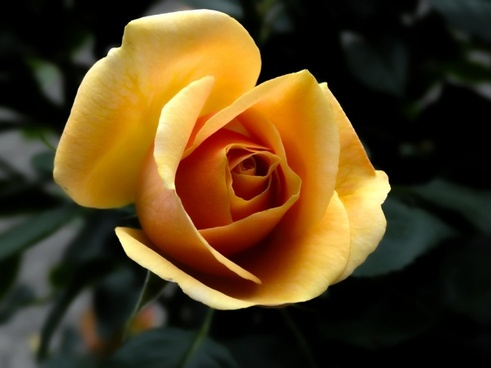 rose orange flowers