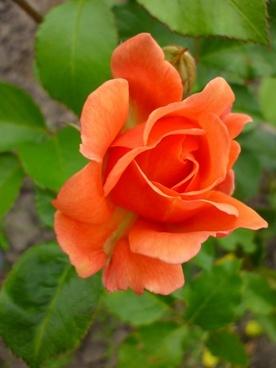 rose orange green