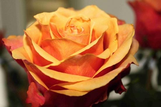 rose orange roses