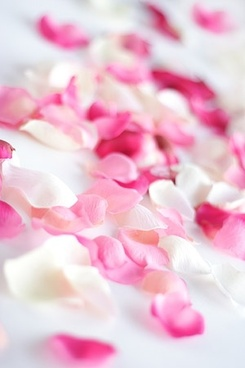 rose petal picture
