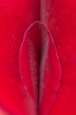 rose petal red