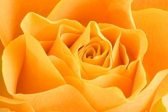rose petals yellow