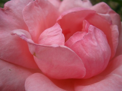 rose pink bloom