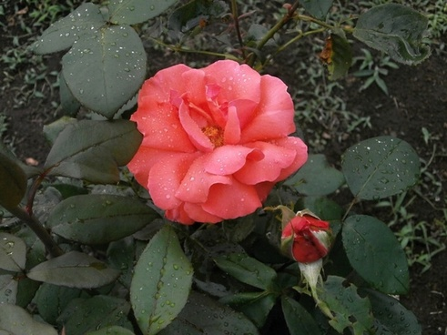 rose pink flower after the rain