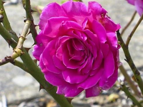 rose pink thorn