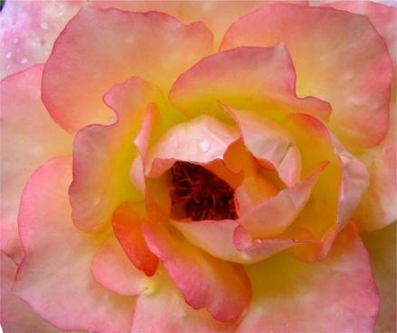 rose rain open