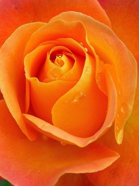 rose raindrops apricot