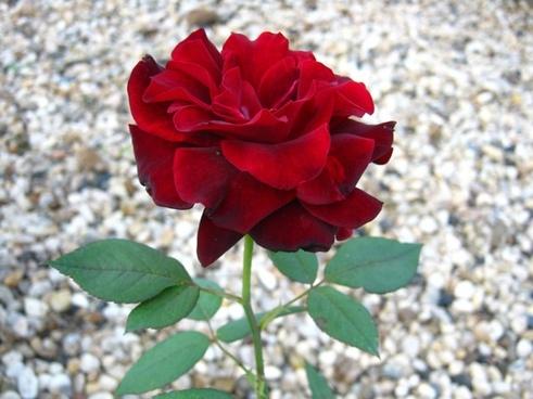 rose red dark red