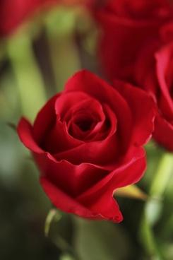 rose red flower