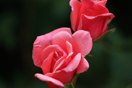 rose red rose nature