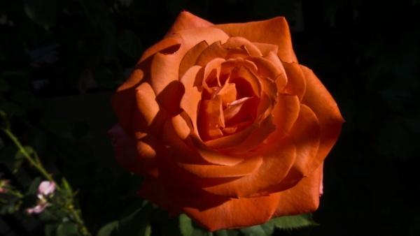 rose rose blooms flower