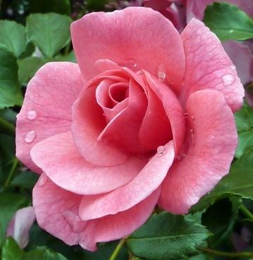 rose rose blooms nature