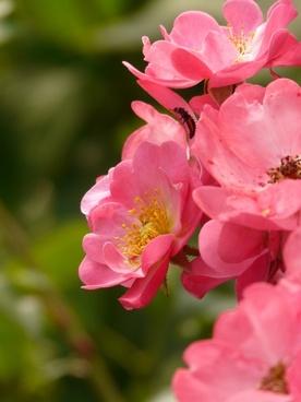 rose rose flower pink