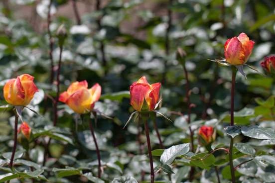 rose spectra