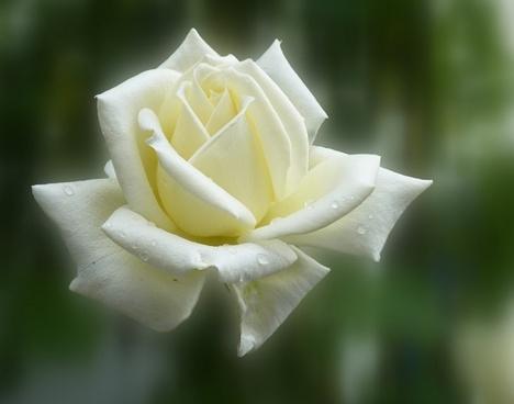 rose summer flower