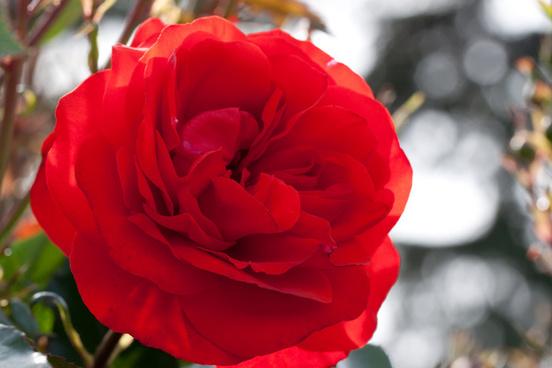 rose trumpeter