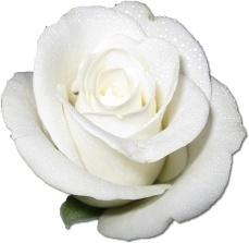 Rose White 1
