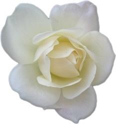 Rose White 2