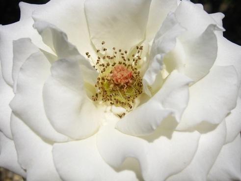 rose white bloom