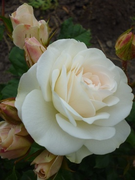 rose white nature