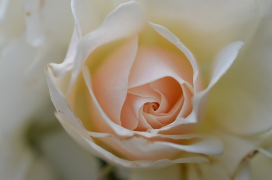 rose white rose flower