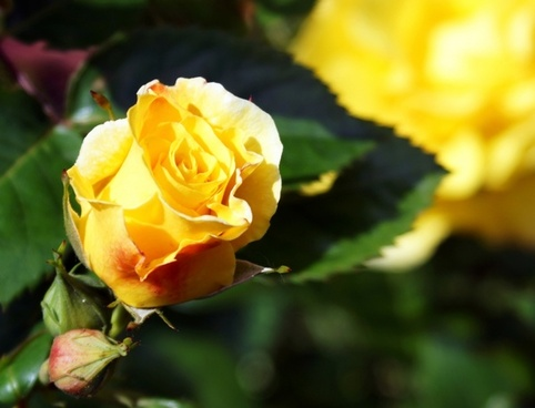 rose yellow rose yellow