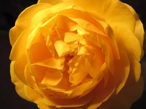 rose yellow roses macro