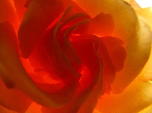rose yellow roses super macro