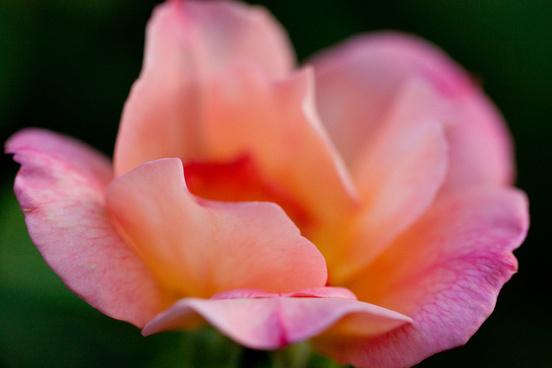 rose zambra93