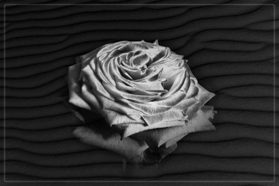 rosen portrait rose texture