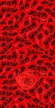 roses background of highdefinition picture 2p