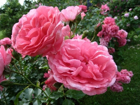roses double pink