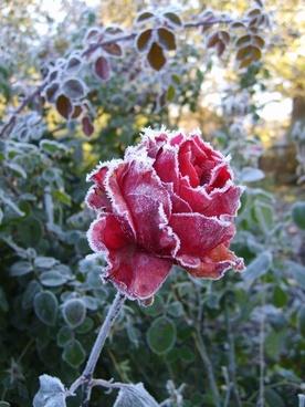 roses flower leann