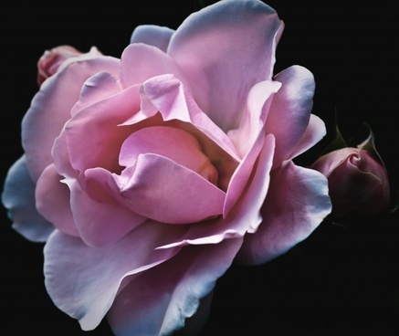 roses flower nature